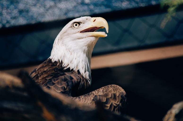 unsplash_eagle